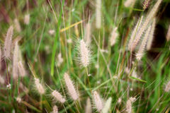 Poaceae - herbe de mission Photographie stock
