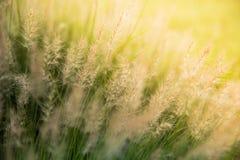Poaceae hermoso, hierbas en el prado en la puesta del sol Imágenes de archivo libres de regalías