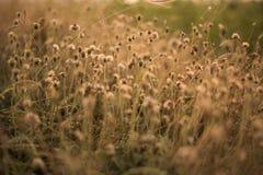 Poaceae hermoso, hierbas en el prado en la puesta del sol Fotografía de archivo libre de regalías