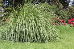 Poaceae i trädgården Arkivbilder