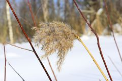Poaceae includes the cereal grasses, bamboos and the grasses of natural grassland and cultivated lawns and pasture. Poaceae Poe-ay-see-ay or Gramineae Grammy-nee Stock Photography