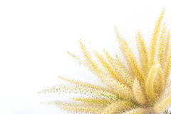 Poaceae. The Liliopsida, Poaceae, Weed Flowers on plain background Stock Images