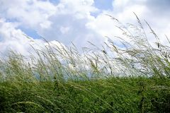 Poaceae on meadow in front of cloudy blue sky. In Germany Royalty Free Stock Image