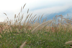 Poaceae Stock Photo