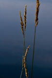 Poaceae. Stand on the hill Royalty Free Stock Image