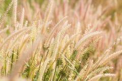 Poaceae trawy kwiat dmucha wiatrem, plamy tło Zdjęcie Royalty Free