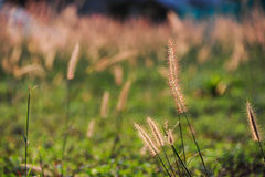 Poaceae or true grass Stock Photography