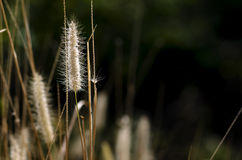 The Poaceae or true grass on black background for copy space. Stock Photos