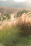 Poaceae u. x28; Blume grass& x29; im Sonnenuntergang Stockbild