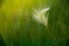 Poaceae verde hierba verde en una luz del sol Fotografía de archivo libre de regalías