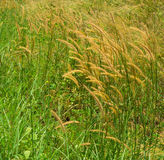 Poaceae w ihe wiatrze Obraz Royalty Free