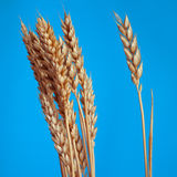 The Poaceae Stock Photo