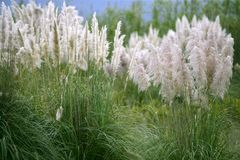 Poaceae wild spike savana flower background. Cortaderia selloana, Poaceae wild spike savana flower background Royalty Free Stock Photography