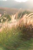 Poaceae & x28; grass& x29 del fiore; nel tramonto Immagine Stock