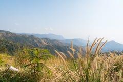 Poaceaewiese, die durch den Wind durchbrennt Stockfoto