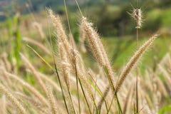Poaceaewiese, die durch den Wind durchbrennt Lizenzfreie Stockfotografie