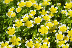 Poached egg plant Royalty Free Stock Photos
