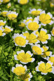 Poached Egg Plant Stock Images