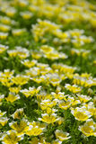 Poached egg plant Royalty Free Stock Image