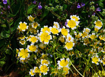 Poached egg plant Limnanthes douglasii flowers Stock Photography