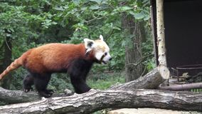 Poartrait de una panda roja almacen de metraje de vídeo