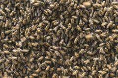 Poblaciones apretadas de la colonia de la abeja Imagen de archivo