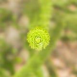 Pobliska geometryczna doskonałość tłustoszowata roślina Obrazy Royalty Free