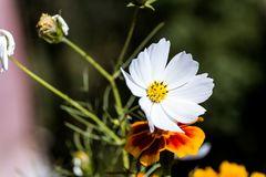 Pobocze dziki biały kwiat obrazy royalty free