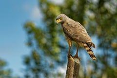 Pobocze jastrząb - Rupornis magnirostris stosunkowo mały ptak zdobycz zakłada w Ameryki obsiadaniu na stosie obok drogi zdjęcie royalty free