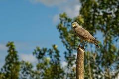 Pobocze jastrząb - Rupornis magnirostris stosunkowo mały ptak zdobycz zakłada w Ameryki obsiadaniu na stosie obok drogi zdjęcia royalty free