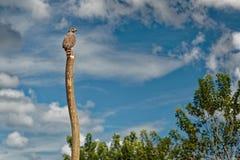 Pobocze jastrząb - Rupornis magnirostris stosunkowo mały ptak zdobycz zakłada w Ameryki obsiadaniu na stosie obok drogi zdjęcie stock