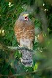 Pobocze jastrząb - Rupornis magnirostris stosunkowo mały ptak zdobycz zakłada w Ameryki Ten wokalnie gatunki są często najwięcej obraz stock