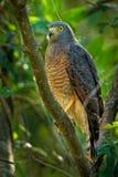 Pobocze jastrząb - Rupornis magnirostris stosunkowo mały ptak zdobycz zakłada w Ameryki Ten wokalnie gatunki są często najwięcej obrazy stock