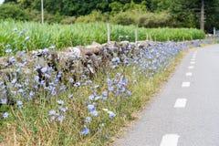 Pobocze z Cykoriowymi kwiatami Zdjęcia Royalty Free