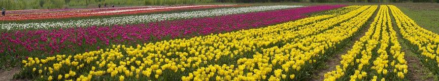 Poborców tulipany zbierają pięknych kwiaty Zdjęcie Stock