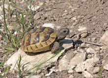 pobudza thighed tortoise zdjęcie stock