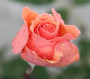 pocałował rose deszcz Obrazy Stock