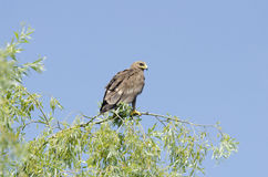 Poca águila manchada (pomarina de aquila) Foto de archivo libre de regalías
