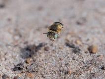 Poca abeja de la flor - bimaculata de Anthophora que vuela bajo Imagen de archivo