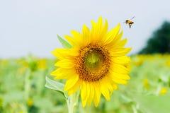 Poca abeja de la miel con el girasol 2 Imagen de archivo