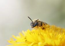 Poca abeja de la miel recolecta el néctar de la flor amarilla del diente de león Fotografía de archivo