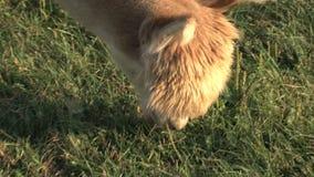 Poca alpaga che mangia erba archivi video