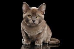Poca Birmania Kitten Sitting, mirando in camera, aisló el fondo negro Fotografía de archivo libre de regalías