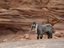 Poca capra che riposa nelle montagne fotografia stock libera da diritti