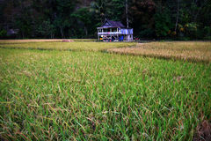 Poca casa en campo de arroz Foto de archivo libre de regalías