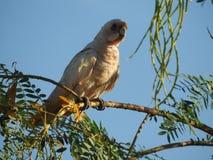 Poca Corella que se sienta encima del árbol que vigila foto de archivo libre de regalías