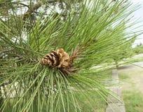 Poca crescita del pino dell'urto Immagine Stock