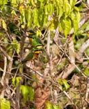 Poca familia del Bee-eater Fotos de archivo
