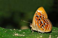 Poca farfalla del Harlequin Fotografie Stock Libere da Diritti