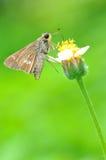Poca farfalla rapida del riso Immagini Stock